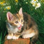 Американский жесткошерстный котенок