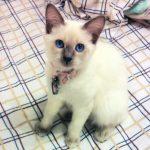Котёнок балинез