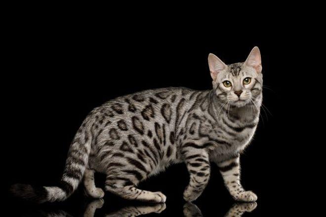 Бенгальская кошка серебристый окрас