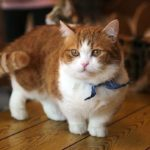 Манчкин кошка