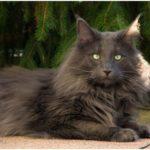 Норвежская лесной кот серый
