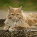 Норвежская лесной кот