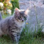 Норвежская лесная котенок