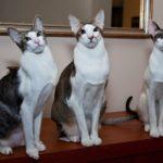 3 ориентальные кошки