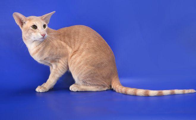 ориентальная кошка (фото)