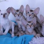 Котята оринталы