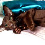 Котенок ориентал шоколадный