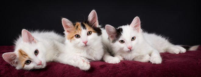 ванские котята