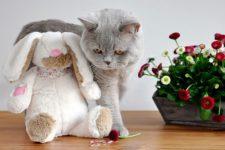 Британская короткошерстный кот