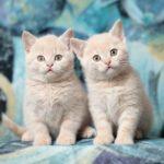2 британских котенка