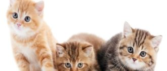 Британские котята окрас табби
