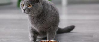 британский кот и корм
