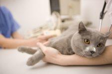 Британская кошка у ветеринара