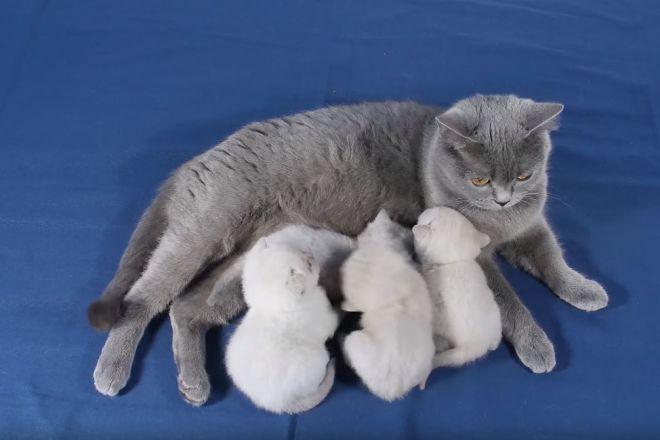 британская кошка и котята