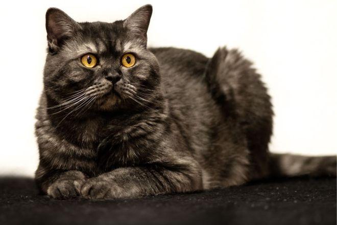 Британский короткошерстный кот черный