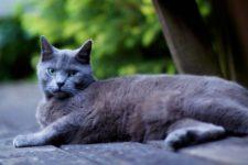 Британская короткошерстная голубая кошка