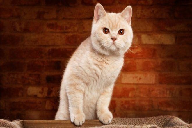 британский кот персиковый