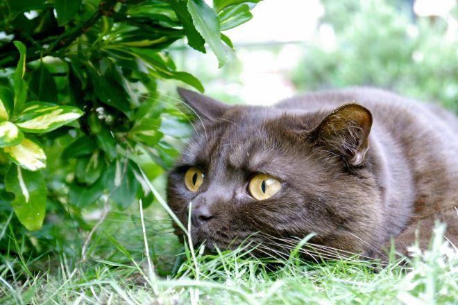 коричневый британский кот