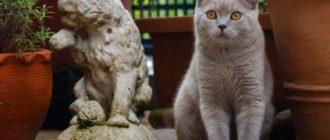 Британский кот серый