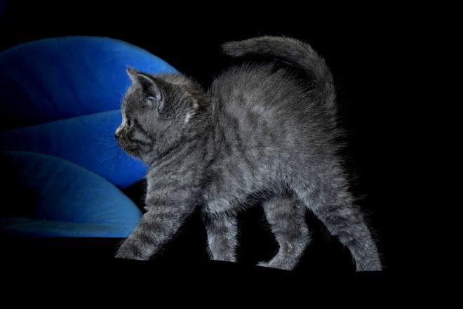 Британский котенок серый