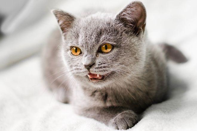 британская короткошерстная кошка серая