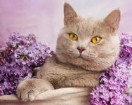британский короткошерстный лилового окраса