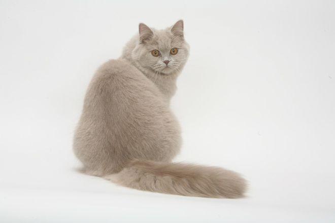 Британская кошка лиловая