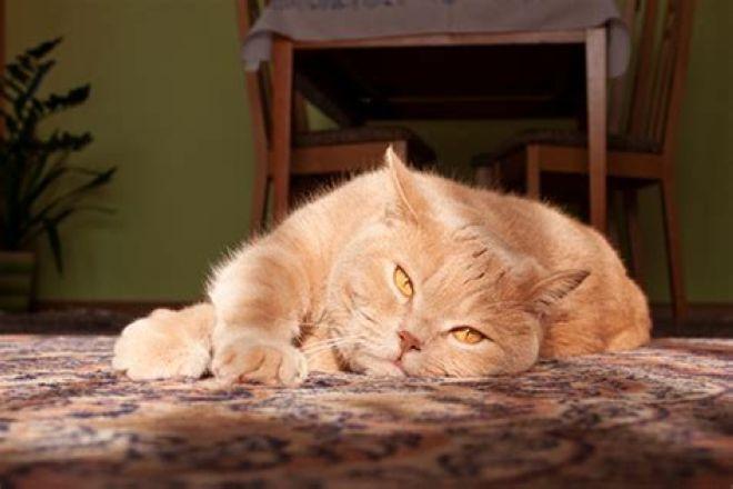 рыжий британский котик