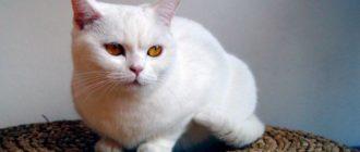 британская кошка белая