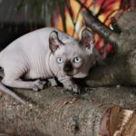Кошка породы двельф