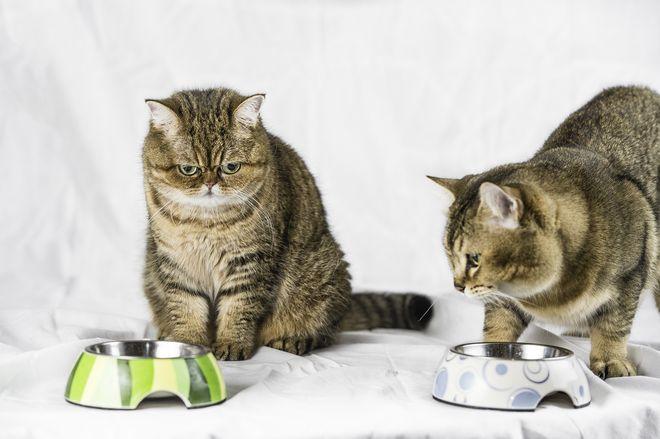 2 экзотические кошки