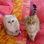 Короткошерстные экзоты кот и кошка