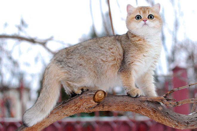 Кошка шиншилла фото