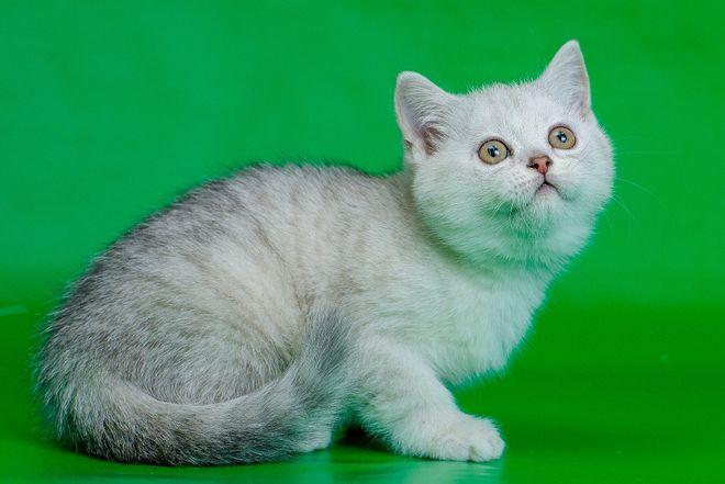 Котенок шиншилла серебристая