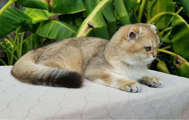 Скоттиш шиншилла кошка