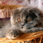 шотландский вислоухий кот черепаховый окрас