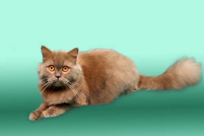 хайленд страйт кот