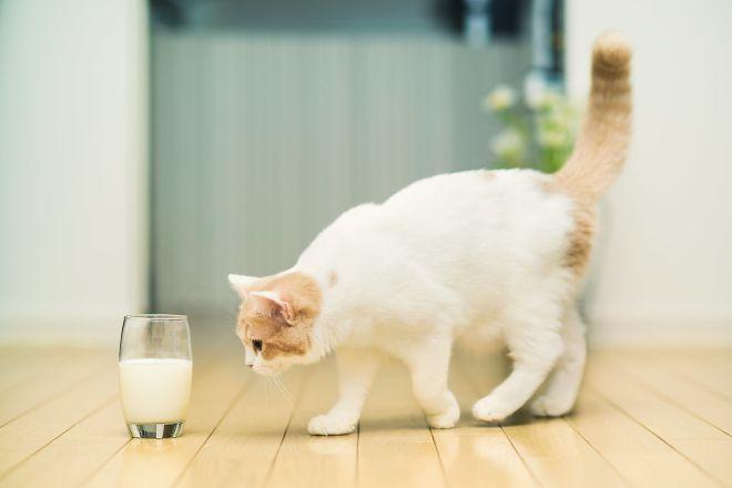 кошка и стакан молока