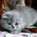 серый вислоухий котенок