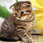 тигровый котенок вислоухий