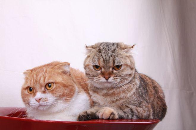 кот и кошка котландские вислоухие