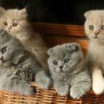 шотландкские котята