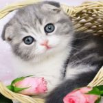 Скоттиш фолд котята