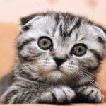 Скоттиш фолд котенок
