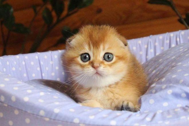 Шотландский вислоухий котенок золотой окрас