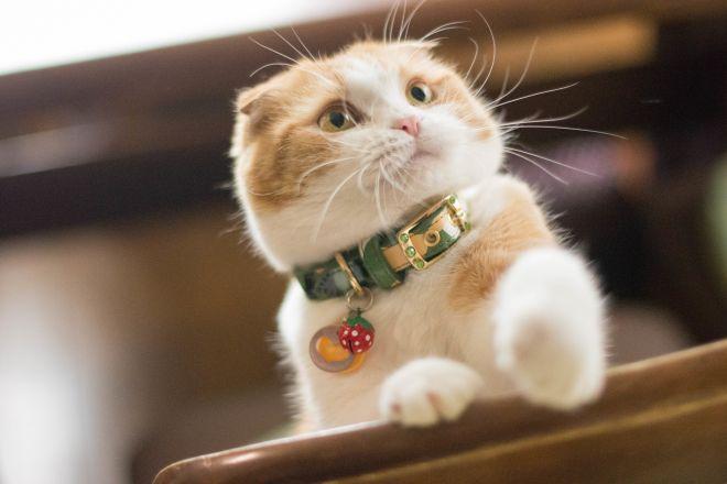 Шотландский кот биколор