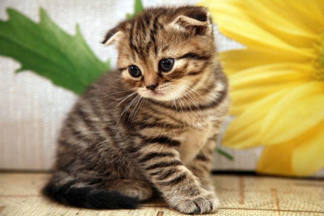 шотлансдкий котенок тигровый