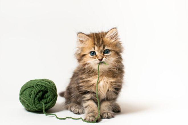 Шотландский котенок и клубок