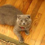 шотландский котенок серого окраса