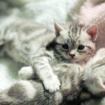 2 шотландских котенка